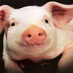 Свиней в новгородских колониях содержат с нарушениями закона
