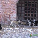 Великий Новгород ожидает нашествие бродячих собак