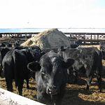 В Новгородскую область доставлена тысяча коров из Австралии для «Астрилово»