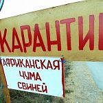 В Окуловском районе снят карантин по африканской чуме свиней
