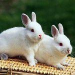 «Не только ценный мех»:  в Новгородской области будут интенсивно разводить кроликов