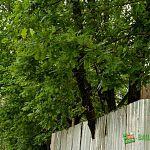 «СУ-5» обещает не уничтожать дубы на углу улицы Московской