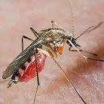 Новгородские больные гемофилией не боятся комаров