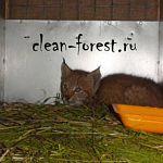 Рысёнка из Новгородской области приютили в Торопце