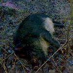 Руководители шимских охотохозяйств оштрафованы за нарушение правил карантина по АЧС
