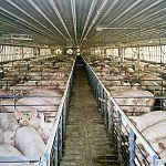 Новгородские свиноводы сетуют на дождь и на импорт