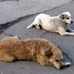 Новгородская прокуратура потребовала прекратить усыпление бродячих животных «Адилином»