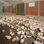 В Новгородском районе будет введён в строй после реконструкции птичник на фабрике «Гвардеец»