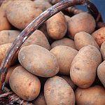 Минсельхоз одобрил крупный инвестиционный проект производства картофеля под Шимском