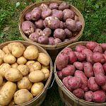 В Новгородской области урожай картофеля оказался больше прошлогоднего