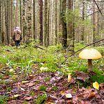 За сутки в лесах Новгородской области заблудились три грибника