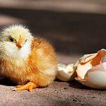 Новгородские цыплята вылупились среди сенаторов