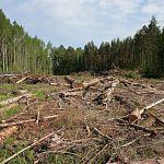 С завтрашнего дня в Новгородской области начнут разрывать контракты с лесными арендаторами-должниками