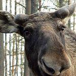 Подстреленный лось пришёл в Великий Новгород
