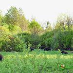 Жители деревни Переезд просят защитить их от свирепствующих кабанов