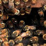 В Кречевицах пчёлы до смерти закусали двух собак