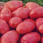 Семенной картофель из Новгородской области незаконно привезли на Кубань