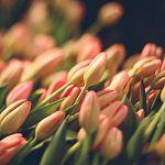 Тюльпаны, примулы, гиацинты… Весенняя сказка - ярмарка цветов - в переулке Полевом!