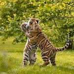 Амурский тигр станет в этом году героем Всероссийского конкурса детских писем
