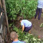 Житель Ондвора посадил во дворе коноплю
