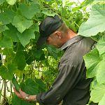 Три тонны огурцов уже собрали в новгородской колонии