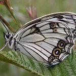 Опубликован список дневных бабочек Новгородской области