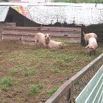 Свинарник раздора, или как вонь отравляет жизнь одной новгородской деревне