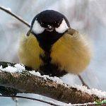 12 ноября российские природолюбы отмечают Синичкин день