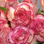В Великом Новгороде сожгли огромный букет эквадорских роз, зараженных насекомым-космополитом