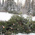 В Новгородской области к Новому году планируют спилить восемь тысяч елок и сосенок