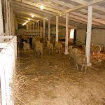 Путь финских овец и баранов в Новгородскую область оказался тернист