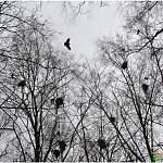 Фотофакт: грачи прилетели! Причём раньше, чем обычно