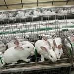 Под Боровичами создадут высокотехнологичное производство крольчатины