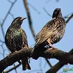 Новгородские орнитологи сообщают: скворцы прилетели