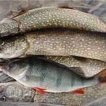 С 30 июня рыбаки не смогут поймать больше 5 кг щуки в день
