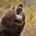 В Окуловском районе медведь напал на человека