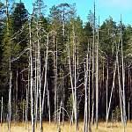 «Либо лечить, либо рубить». Новгородские леса под угрозой исчезновения