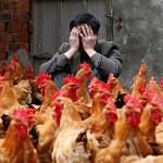 США: нам не остается ничего другого, как научиться жить с птичьим гриппом