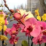Мода на орхидеюфаленопсис в Великом Новгороде не проходит