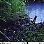 Фото: горностай ждет полевку на бобриной площадке в Рдейском заповеднике