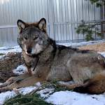 В Подмосковье открылся первый в России приют для волков