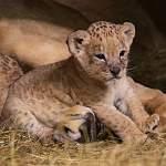 Новгородцы могут придумать имена для маленьких львят из Ленинградского зоопарка