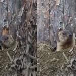 В Ленинградском зоопарке проснулись милейшие сурки