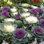 Декоративная капуста: съедобные кружева в цветнике