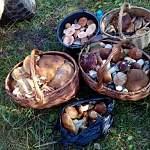 Жители Новгородской области делятся невероятным урожаем грибов