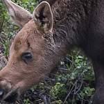 В Новгородской области теплый май выгнал лосей под колеса авто