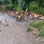 На трассе М-10 в Новгородской области выкинули живых цыплят и вывалили фуру персиков