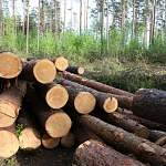 Торги новгородским лесом в Санкт-Петербурге выросли в десять раз