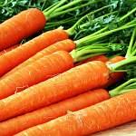 Новгородский фермер готовится к сбору японской моркови