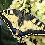 В Великом Новгороде семья вырастила редкую бабочку, занесенную в Красную книгу многих стран
